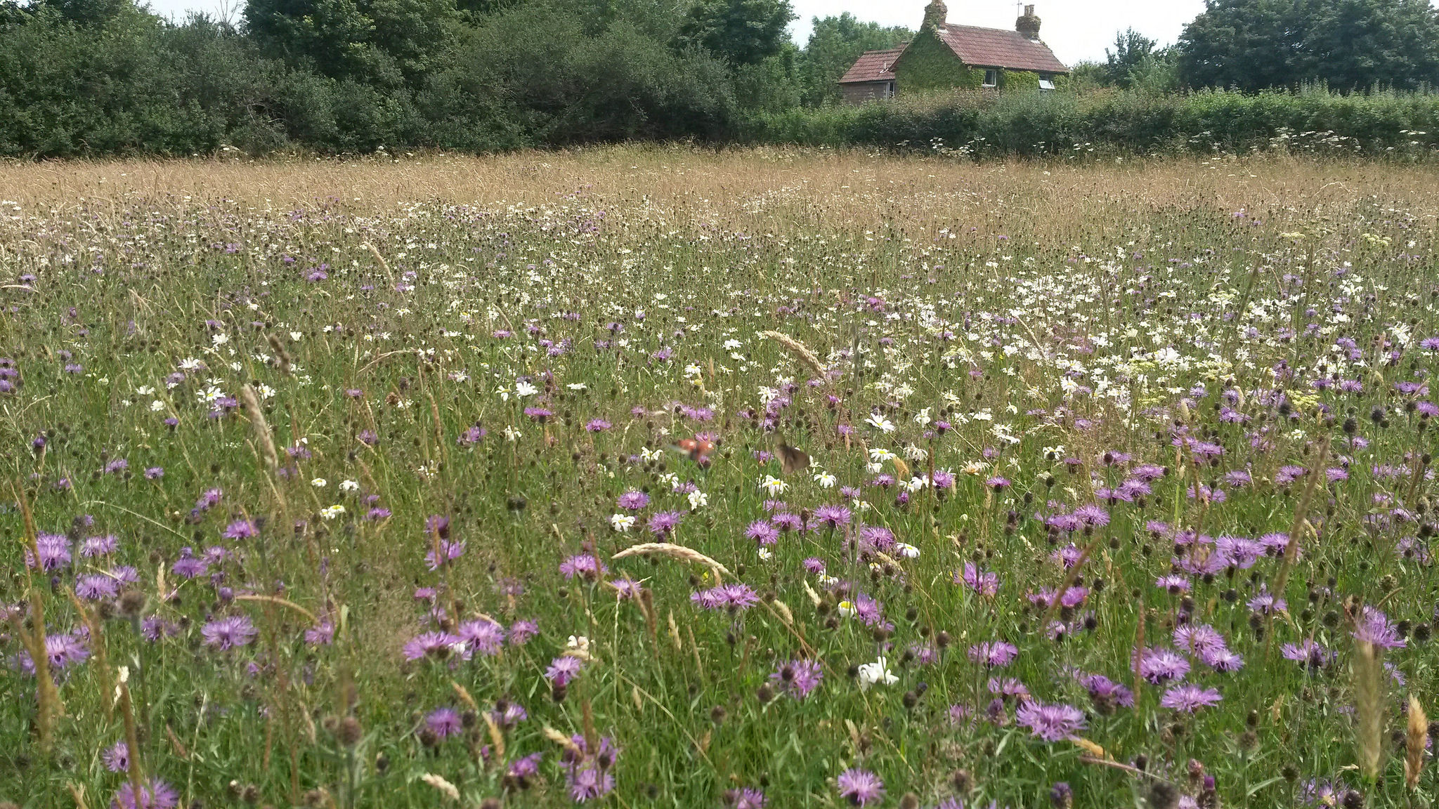 Restoring species rich meadows