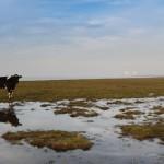Salt Marsh Grazing