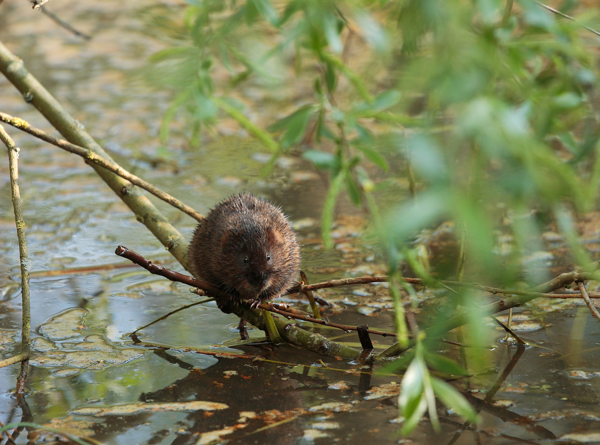 Protecting Water Voles