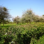 Orchard restoration in south Gloucestershire