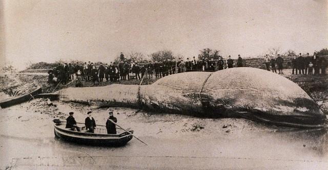 The Littleton Whale